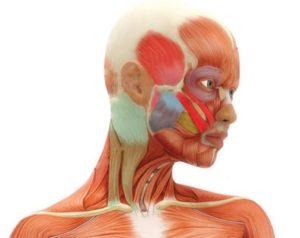 Головные боли - Мышцы скальпа